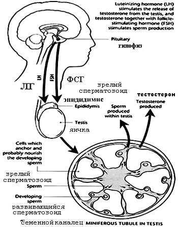 Сперма после отмирания #15