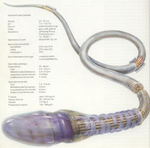 meessuguraku ehk spermatosoidi ehitus